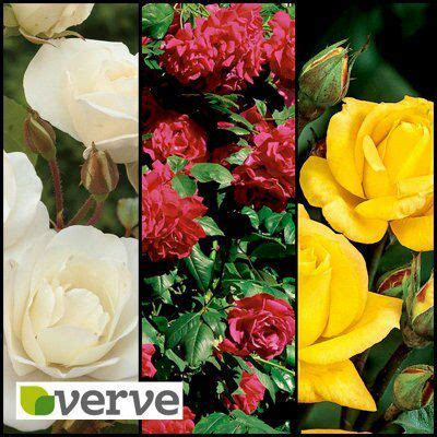 bq red yellow white climbing rose collection  plant