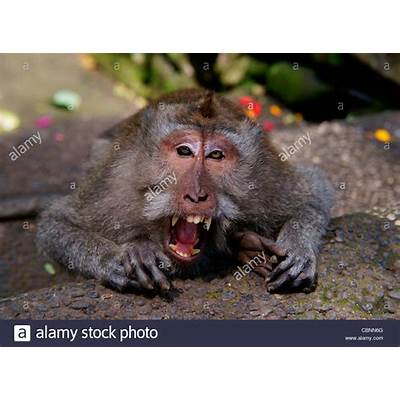 crab-eating macaque (Macaca fascicularis) with open mouth