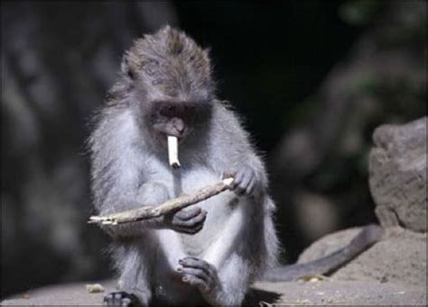 Badass Monkey Smokers Company