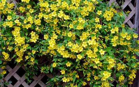 Buy Yellow Carolina Jasmine Vine For Sale Online From