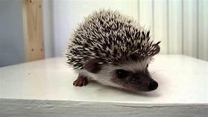 African Pygmy Hedgehog Baby 7 weeks old - YouTube