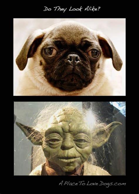 funny pug yoda star wars