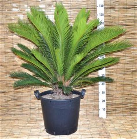 cycas revoluta en pot 28 images vente d un cycas revoluta 160 cm 1 king sagou palm cycas