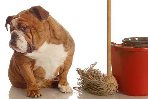 Urine Smell Removal From Carpet by Dog Urine Stain Removal Tips Dog Urine