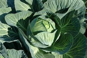 Wann Süßkartoffeln Ernten : wei kohl wann ist erntezeit ~ Buech-reservation.com Haus und Dekorationen