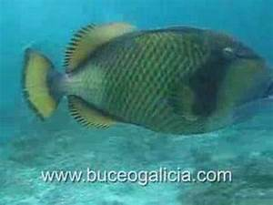 Triggerfish attack - YouTube