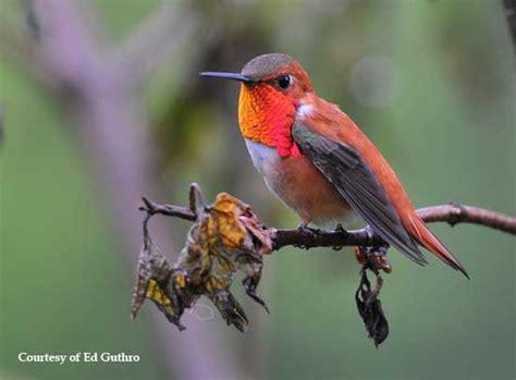 stop feeding hummingbirds when to take down your
