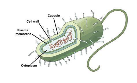 estructura de una celula procariota seonegativocom