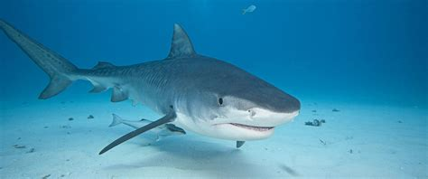 Shark Image How To Stay Safe From Shark Attacks Fourth Of July