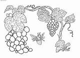 Grapes Plants Coloring Fruits Pages sketch template