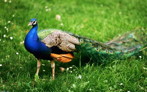 the king of birds peacock wallpaper 8 animal wallpapers