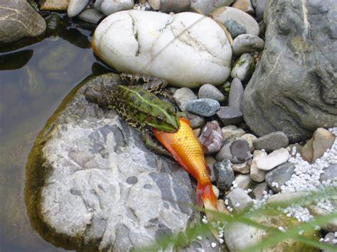 was fressen goldfische frosch fri 223 t goldfisch foto bild tiere natur bilder auf fotocommunity