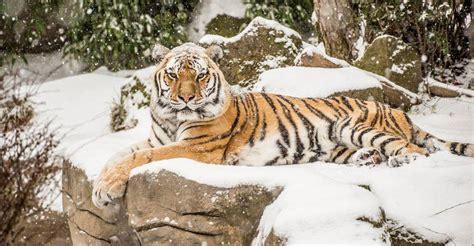 Oregon Zoo Animals Frolic In Winter Wonderland