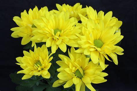 dendranthema hybride balkon chrysanthemen pflege