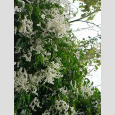 Silver Lace Vine Extremely Fast Growing! Quickly Covers