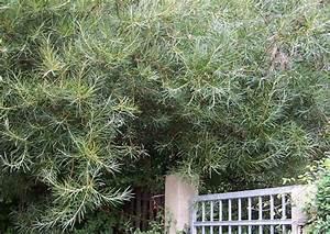 Immergrüne Winterharte Kübelpflanzen : absolut winterharte k belpflanzen erprobte auswahl pflegeleicht ~ Markanthonyermac.com Haus und Dekorationen