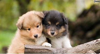 Sheltie Puppies Breed Dogs Wallpapers Dog Puppy