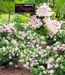 Immergrüne Sträucher Winterhart : rhododendron 39 nugget by bloombux 39 1a qualit t kaufen ~ Articles-book.com Haus und Dekorationen