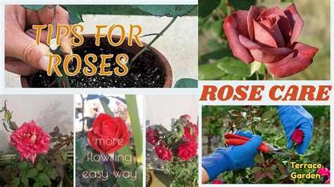 care of roses in how to care rose plants hindi urdu tips and tricks all about potted roses youtube