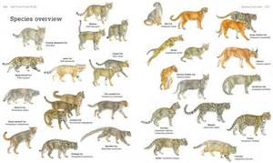 list of big cats secrets of the world s 38 species of cats national
