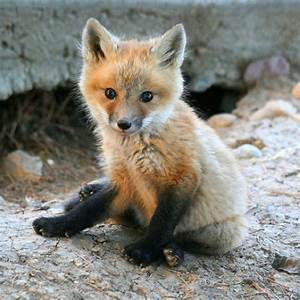 70 best Red Fox Magick images on Pinterest | Foxes, Red ...