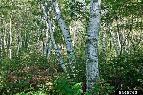 types of birch trees gypsy moth plant heroes