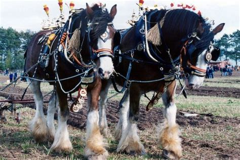 shire horses horse gentle ploughing giants north chance marvel wales open these demonstrating teams