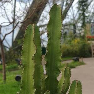 Plante Succulente Espèces Représentatives : euphorbe une plante succulente aux airs de cactus ~ Nature-et-papiers.com Idées de Décoration