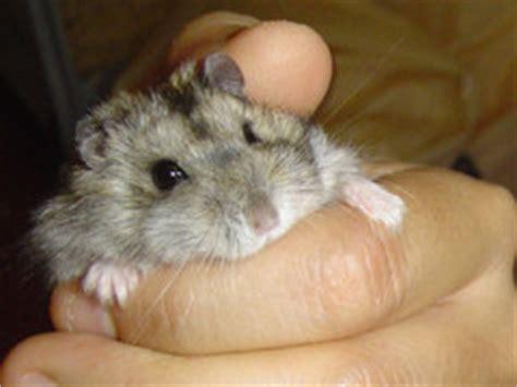 criceto russo alimentazione criceto russo winter white amici criceti hamsterz