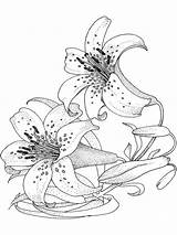 Coloring Flower Pages Lily Adult Flowers Colouring Sheets Printable Lilies Blumen Ladybug Bing Recommended Sketch Realistic Anycoloring Ocoloring Gemerkt Template sketch template
