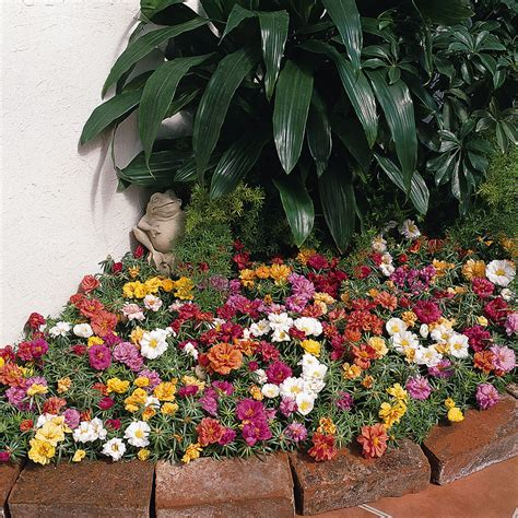 planting flowers in portulaca bonnie plants