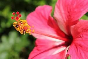 Red Gumamela Flower Free Stock Photo