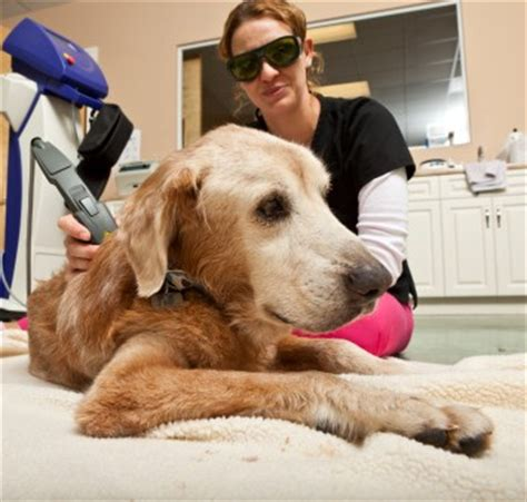 level laser therapy  dogs vet times