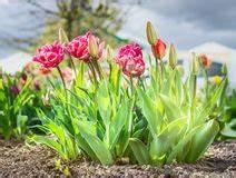 Himmel über Bett : tulpen im sonnenschein stockfoto bild von himmel sonne 16301996 ~ Buech-reservation.com Haus und Dekorationen
