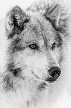 wolf face images wolf wolf pictures wolf face