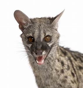 Things You Need to Know (But Don't) About Spotted Genets