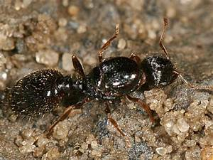 Description And Best Ways to Get Rid of Pavement Ants