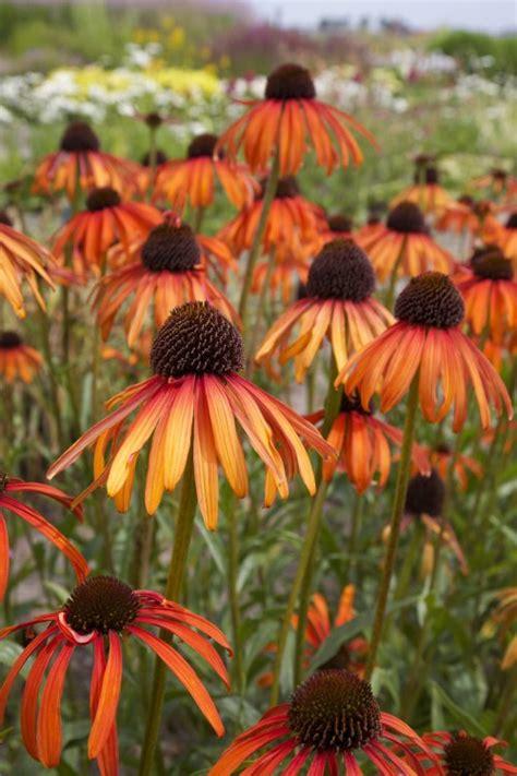indian summer pflanze echinacea indian summer 174 sonnenhut baumschule nielsen