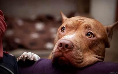 Wallpapers Pitbull American Terrier