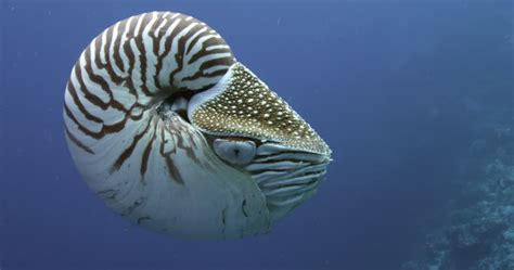 chambered nautilus pacific ocean palau  stock
