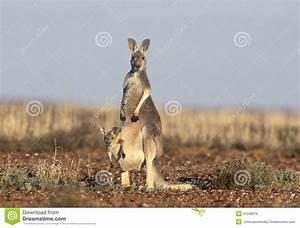 Kangaroo With Joey Stock Photos - Image: 31598373