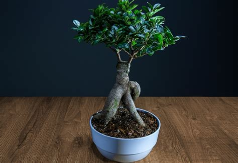 bonsai ficus pflege ginseng bonsai