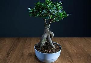 Ficus Bonsai Schneiden : ficus bonsai schneiden ficus ginseng als bonsai pflege schneiden gie en bonsai ficus benjamini ~ Indierocktalk.com Haus und Dekorationen