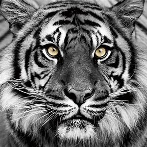 Schwarz Weiß Bilder Mit Farbe Städte : glasbild tiger in schwarzwei ~ Orissabook.com Haus und Dekorationen