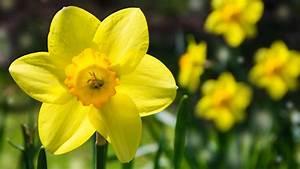 Gitterwand Für Pflanzen : narzissen pflanzen tipps f r die fr hlings pracht ~ Markanthonyermac.com Haus und Dekorationen