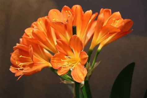 Zimmerpflanze Orange Blüte by Clivie Clivia Pflege A Z Klivien Richtig Zum