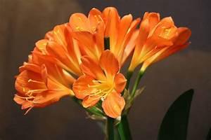 Pflege Von Zimmerpflanzen : clivie clivia pflege von a z klivien richtig zum bl hen bringen ~ Markanthonyermac.com Haus und Dekorationen