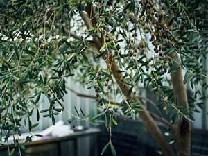 Planter Un Olivier En Pleine Terre : engrais olivier pot engrais olivier et plantes mediterran ~ Farleysfitness.com Idées de Décoration