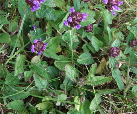 purple lawn purple lawn weed identification www pixshark com images galleries with a bite
