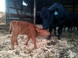Spring Calves   Grass Fed Beef Matheson Farms